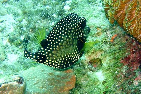 Spottedtrunkfish