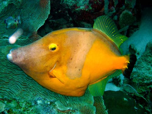 Whitespottedfilefish