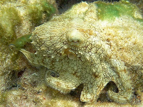 Commonoctopus
