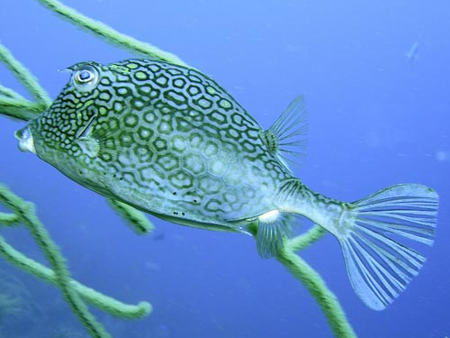 Honeycombcowfish