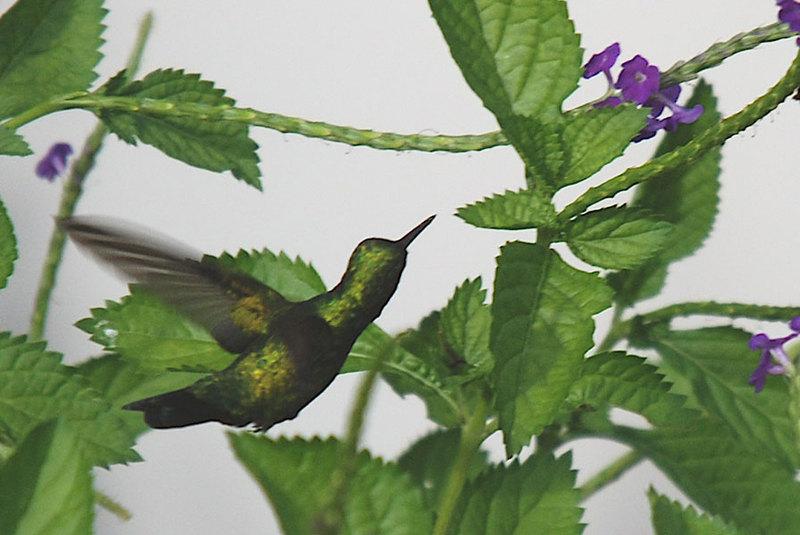 Groene_kolibri1